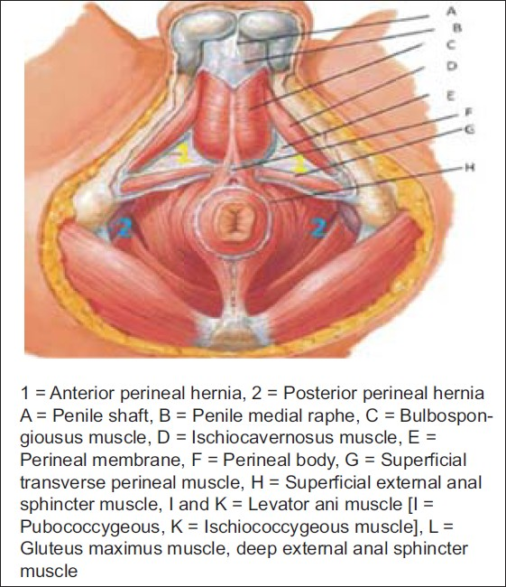 Figure 1: Anatomy Of The Male Pelvic Floor.